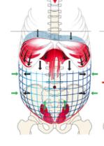 During inhalation, diaphragm pushes down causing expansion of the abdomen.
